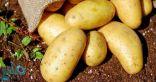 البطاطس: فوائد عظيمة.. تعزز صحة القلب وتحمي العظام