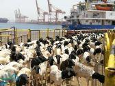 """""""البيئة"""" تفسح 238 ألف رأس من الماشية لتغطية موسم الحج"""
