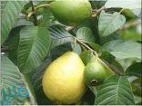 فوائد عديدة لورق الجوافة لن تصدق !