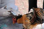 """""""البيئة"""" تعلن إحصائية بإصابات أنفلونزا الطيور في 24 ساعة"""