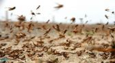 """""""البيئة"""" تحذر من تشكل أسراب من الجراد الصحراوي في عدة مناطق بفعل الرياح"""